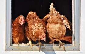 Workshop zu den häufigsten Erkrankungen beim Huhn